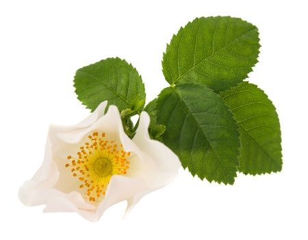 wild rose flower on a white background photo