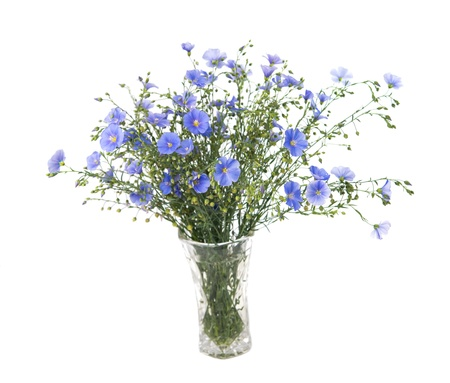 Flax flowers isolated on white background photo