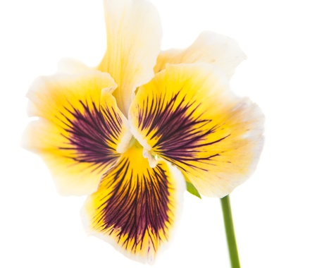 pansy flower on a white background photo