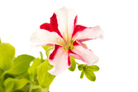 flower of petunia red star isolated on white background