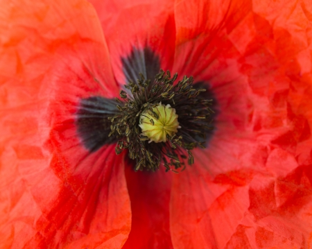 close-up of a red poppy photo