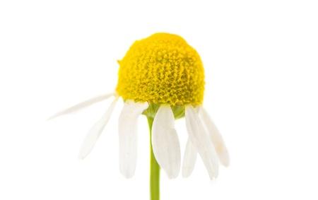 medical daisy isolated on white background photo