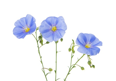 Flax flowers isolated on white background Banque d'images