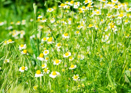 Medical daisy blooming in the meadow photo