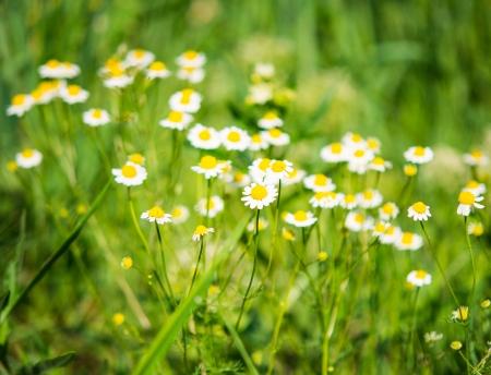 Medical margarita florece en el prado photo