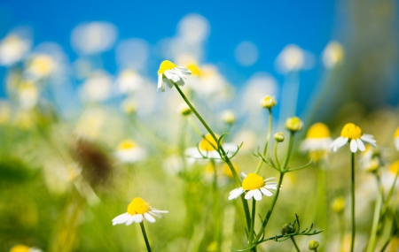matricaria recutita: Medical daisy blooming in the meadow