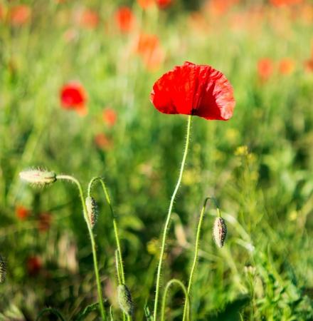 poppy on green field photo