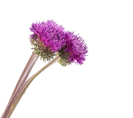 burdock flowers on a white background photo