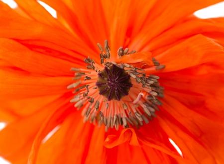 poppy isolated on white background photo