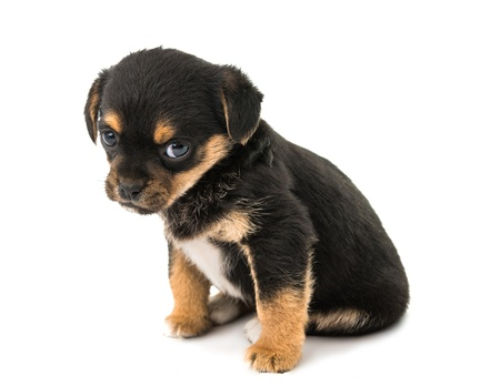 closeup puppy: puppy isolated on white background