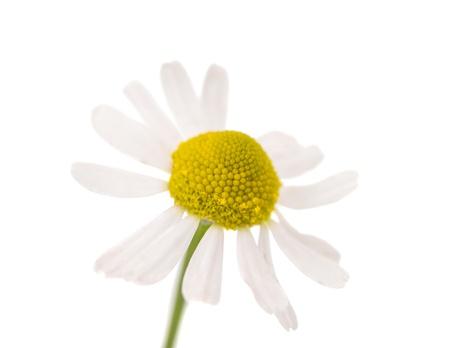matricaria recutita: Camomilla medico isolato su sfondo bianco