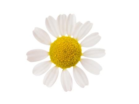 matricaria: Medical Chamomile isolated on white background Stock Photo