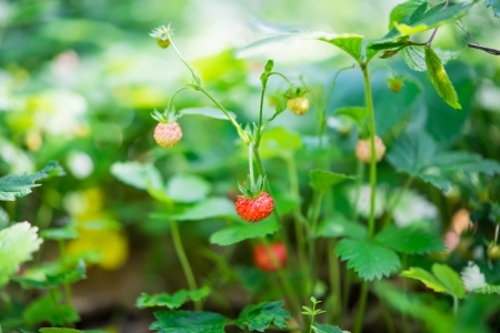 wild strawberries growing on the meadow photo
