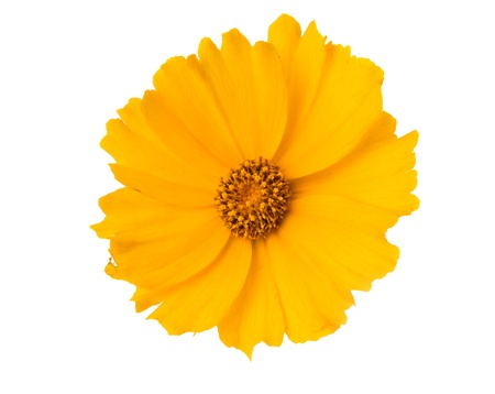 clr: yellow flower isolated on white background Stock Photo