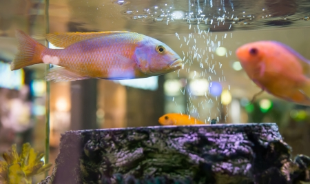 fish swimming in an aquarium Stock Photo - 20529308