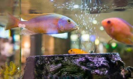 fish swimming in an aquarium Stock Photo - 20529308