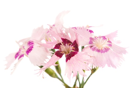 decorative carnation on a white background photo