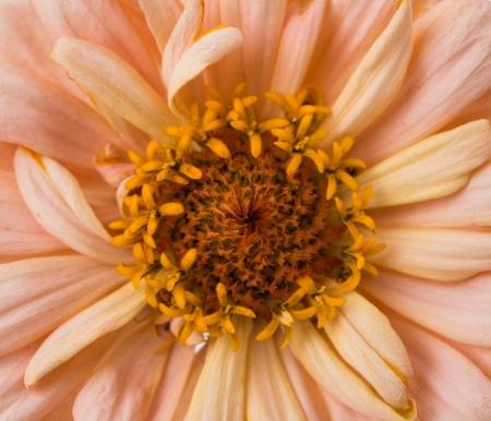 Extreme close up shot of Zinnia flower photo