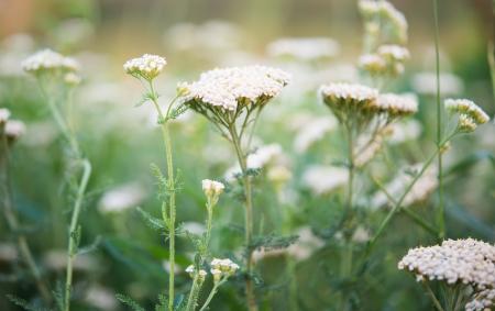 milfoil: milfoil growing in the meadow