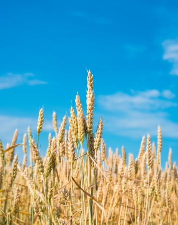 ripe wheat on a background of blue sky photo