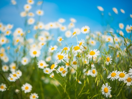 daisy meadow against the blue sky Фото со стока