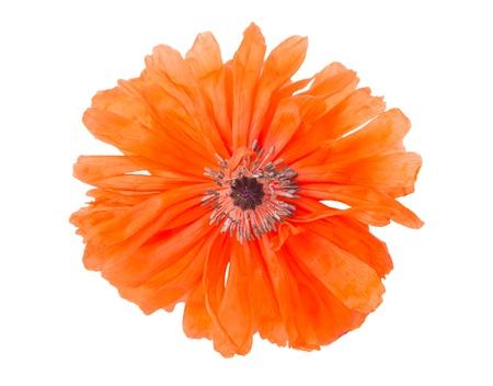 capita: poppy isolated on white background Stock Photo