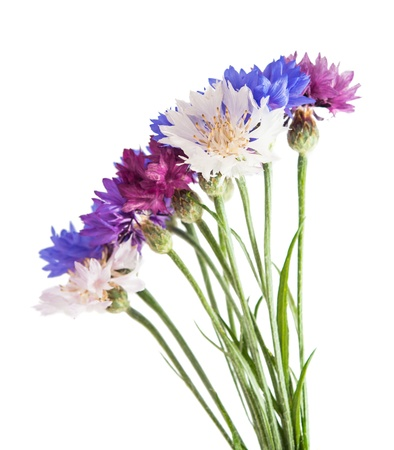 Flowers cornflowers on a white background photo