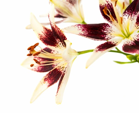 lily on a white background photo