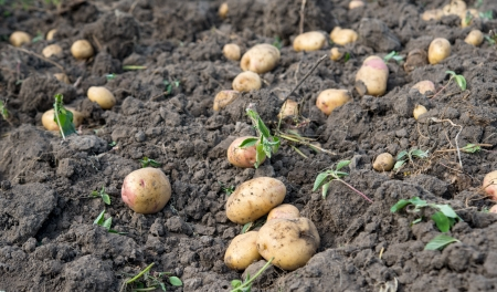 potato crop in the vegetable garden photo