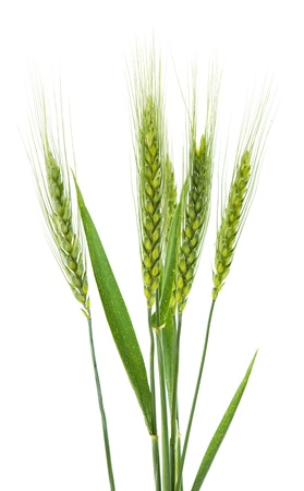 Green wheat isolated on a white background