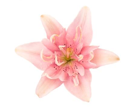 lirio blanco: lirio rosa aislada sobre fondo blanco