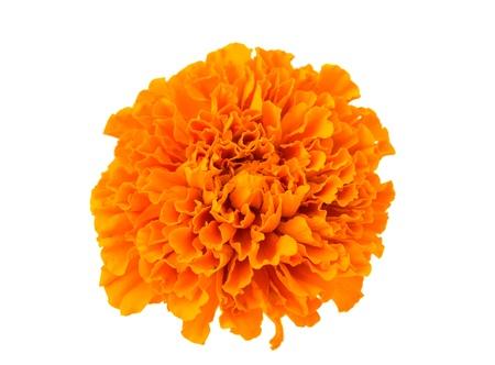 marigold flowers isolated on white background