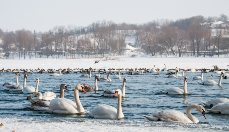 Swans on the river in winter photo