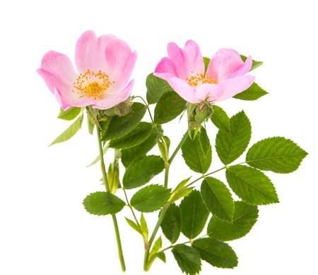 rosa selvatica isolato su sfondo bianco