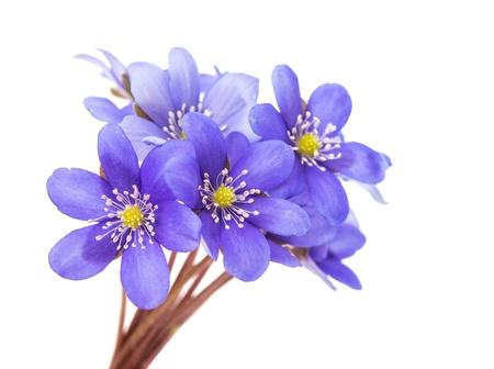 hepatica nobilis: Hepatica nobilis on a white background