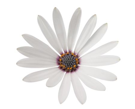 hermosa margarita blanca en un fondo blanco photo