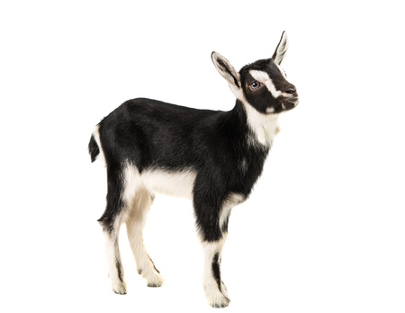caprine: little goat on a white background