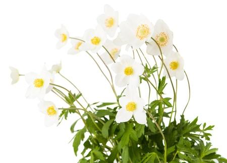 white flower anemone Dubravnaya isolated on white background