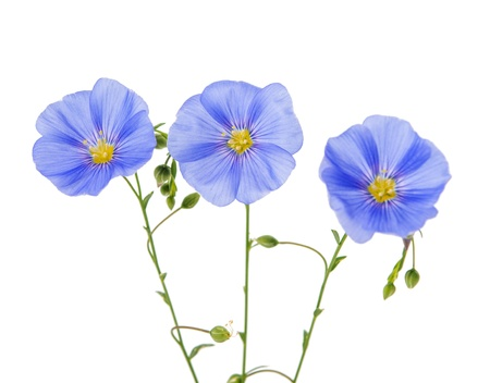 flax flower isolated on white background photo
