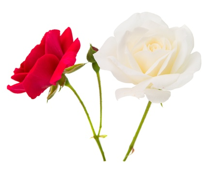 tea rose isolated on white background photo