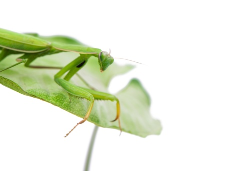 Female European Mantis or Praying Mantis, Mantis religiosa, in front of white background Stock Photo
