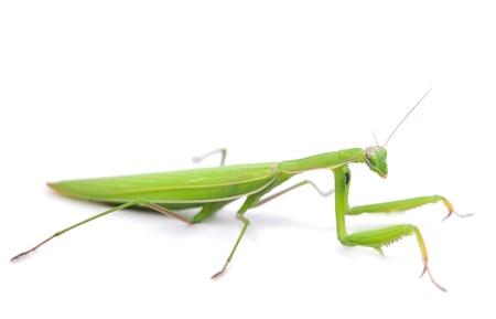 Female European Mantis or Praying Mantis, Mantis religiosa, in front of white background photo
