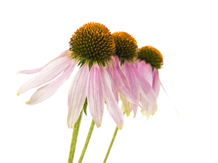 coneflower isolated on white background photo