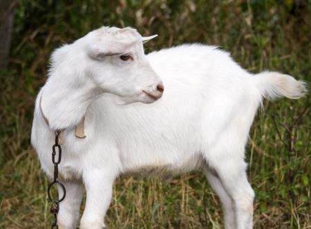 White goat grazes in a meadow photo
