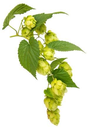 hop isolated on white background