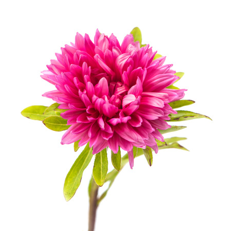 chinensis: pink aster isolated on white background