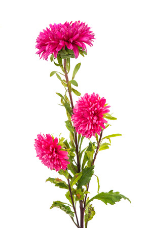 chinensis: aster isolated on white background