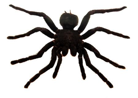tarantula: Tarantula spider isolated on white background