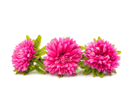 chinensis: aster isolated on white