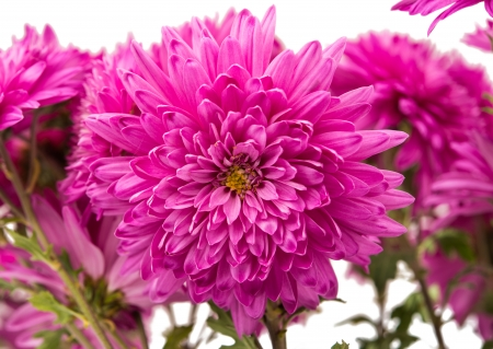 pink chrysanthemum isolated on a white background photo